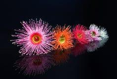 Le bel eucalyptus fleurit en rose, orange, rouge, rose, et le whi Photo stock