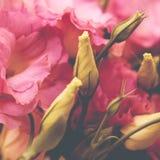 Le bel Eustoma fleurit, Lisianthus, gentiane de tulipe, eustomas Photo libre de droits