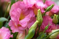 Le bel Eustoma fleurit, Lisianthus, gentiane de tulipe, eustomas Images libres de droits