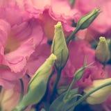 Le bel Eustoma fleurit Lisianthus, gentiane de tulipe, eustomas Photo libre de droits
