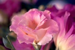 Le bel Eustoma fleurit Lisianthus, gentiane de tulipe, eustomas Image libre de droits