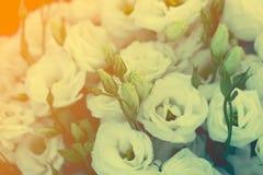 Le bel Eustoma fleurit Lisianthus, gentiane de tulipe, eustomas Photographie stock libre de droits