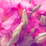 Le bel Eustoma fleurit Lisianthus, gentiane de tulipe, eustomas Photo stock