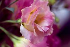 Le bel Eustoma fleurit Lisianthus, gentiane de tulipe, eustomas Photographie stock
