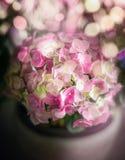 Le bel hortensia vert rose fleurit dans le pot sur l'éclairage confortable de bokeh Photos libres de droits