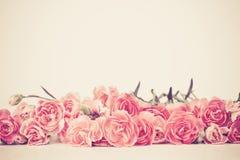Le bel oeillet de floraison fleurit sur un fond blanc avec Photos stock