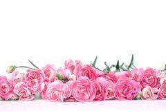 Le bel oeillet de floraison fleurit sur un fond blanc avec Photo libre de droits