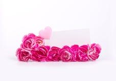 Le bel oeillet rose de floraison fleurit sur un fond blanc Image stock