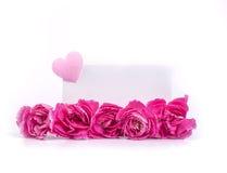 Le bel oeillet rose de floraison fleurit sur un fond blanc Images libres de droits