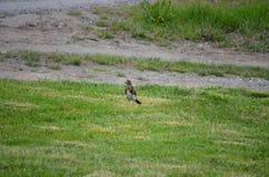Le bel oiseau de grive errant et sautant sur l'herbe verte d'été creusant worms et alimentation images stock