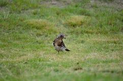 Le bel oiseau de grive errant et sautant sur l'herbe verte d'été creusant worms et alimentation photo libre de droits