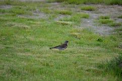 Le bel oiseau de grive errant et sautant sur l'herbe verte d'été creusant worms et alimentation photos stock