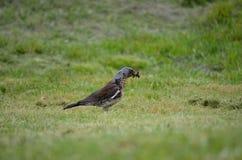 Le bel oiseau de grive errant et sautant sur l'herbe verte d'été creusant worms et alimentation photographie stock