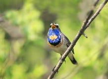 Le bel oiseau masculin de gorge bleue se reposant sur une branche et chante un s photographie stock libre de droits