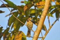 Le bel oiseau, tache breasted Parrotbill, (des guttaticollis de Paradoxornis), en Thaïlande du nord Image libre de droits