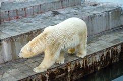 Le bel ours blanc marche dans une volière au zoo photo libre de droits