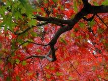 Le bel ?rable rouge laisse Momiji pendant l'automne japonais photos stock