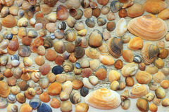 Le belle conchiglie variopinte si sono raccolte sulla costa di Mar Nero Immagine Stock