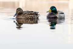 Le belle coppie dell'anatra e del maschio navigano sul fiume Fotografie Stock Libere da Diritti