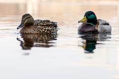 Le belle coppie dell'anatra e del maschio navigano sul fiume Immagine Stock Libera da Diritti