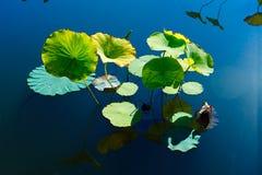 Le belle foglie del loto immagini stock