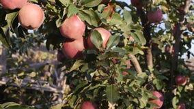 Le belle mele rosse mature appendono di melo, sul gioco luminoso di luce solare e della luce e del vento con le foglie e la frutt archivi video