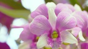 Le belle orchidee bianche e di rosa fioriscono la fioritura nel giardino dell'orchidea, fondo della natura video d archivio