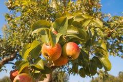 Le belle pere sul pero in autunno fanno il giardinaggio nel giorno soleggiato fotografia stock