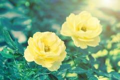 Le belle rose fioriscono e si inverdiscono il fondo della foglia in giardino Fotografia Stock Libera da Diritti