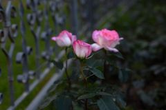 Le belle rose rosa fiorisce al crepuscolo Fotografia Stock