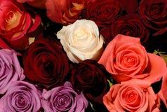 Le belle rose rosse e bianche fiorisce la priorità bassa di amore Fotografie Stock Libere da Diritti