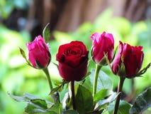 Le belle rose sia rosse che rosa sono sistemate insieme fotografia stock