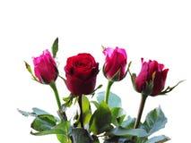 Le belle rose sia rosse che rosa sono sistemate isolate insieme su fondo bianco immagini stock