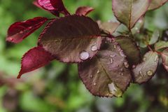 Le belle rose vicine coprono di foglie fondo di verde del giorno di estate delle gocce di pioggia dell'acqua immagini stock libere da diritti