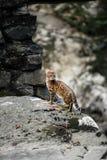 Le Bengale Cat Hunting extérieure, fond de vert de nature images stock