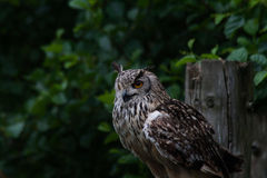 Le Bengale Eagle Owl Images stock