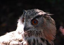 Le Bengale Eagle Owl photo stock