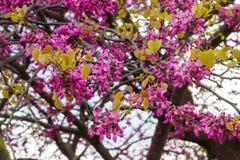 Le berbéris fleurit la fleur sur une branche au printemps Photos stock