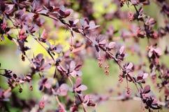 Le berbéris, la branche du berbéris avec des bourgeons et le pourpre lumineux laisse le plan rapproché sur un fond coloré Berbery photo libre de droits
