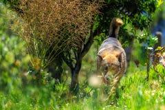Le berger allemand est une race de milieu au grand chien d'utilité qui a provenu de l'Allemagne Photo libre de droits