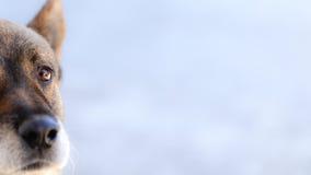 Le berger allemand est une race de milieu au grand chien d'utilité qui a provenu de l'Allemagne photographie stock