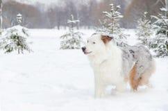 Le berger australien Jeunes promenades énergiques de chien photos libres de droits