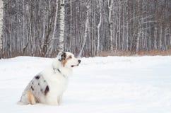 Le berger australien Jeunes promenades énergiques de chien photo libre de droits