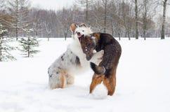 Le berger australien Les chiens jouent les uns avec les autres images stock