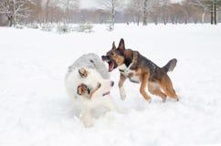 Le berger australien Les chiens jouent les uns avec les autres photo libre de droits