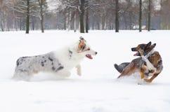 Le berger australien Les chiens jouent les uns avec les autres photographie stock libre de droits