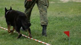 Le berger belge ex?cute des commandes au championnat de la canine maintient l'ordre le chien apporte le b?ton au policier banque de vidéos