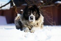 Le berger Dog se trouve dehors un jour froid d'hiver Image libre de droits
