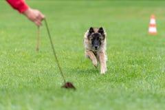 Le berger joue dans la formation avec son instructeur photo libre de droits
