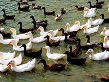 Le besoin de canards d'être alimenté Images libres de droits